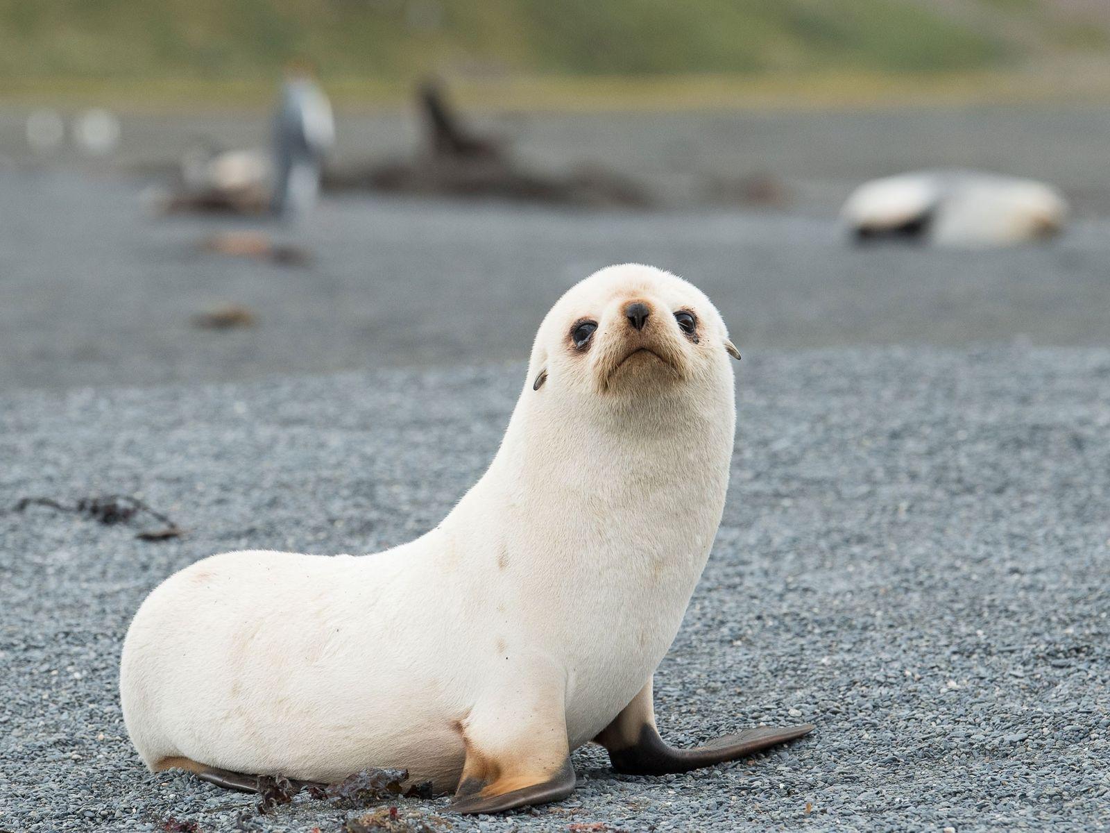 Um filhote de lobo-marinho de pelagem clara descansa em uma praia na Baía Right Whale na ...