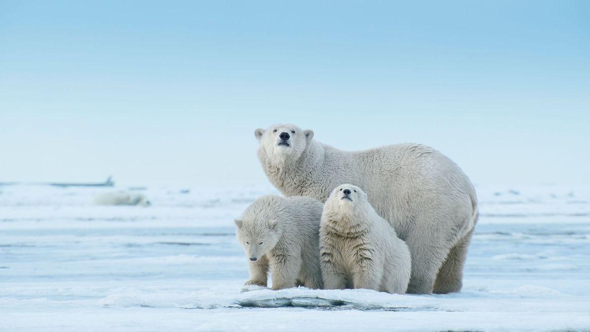 Uma fêmea de urso polar e seus filhotes exploram um trecho de terra sobre o Mar ...