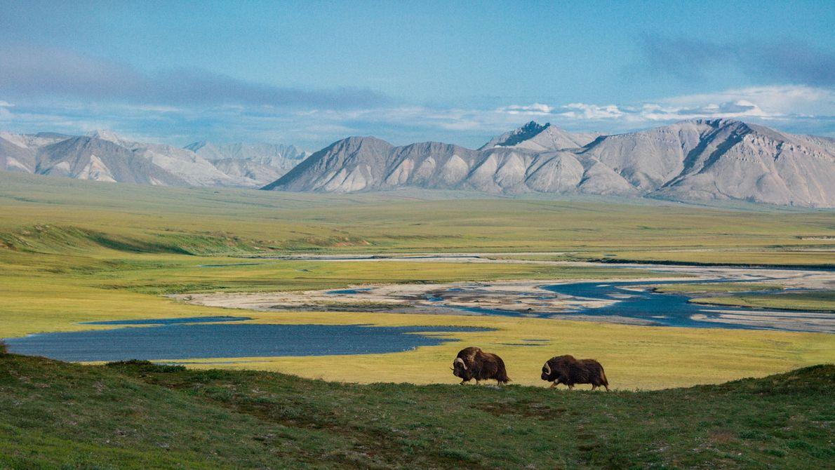Com as Montanhas de Sadlerochit erguendo-se ao longe, dois bois-almiscarados atravessam a paisagem desprovida do toque ...