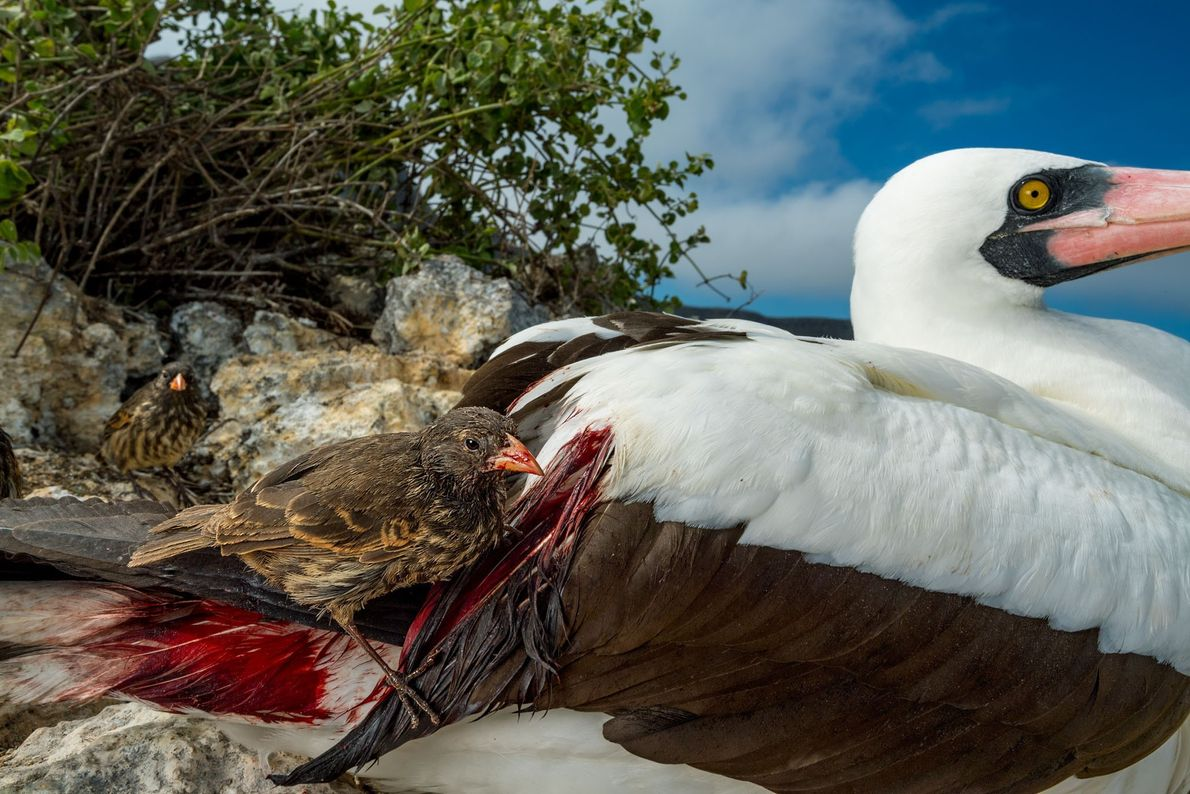 Tentilhões da remota Ilha Wolf encaram momentos difíceis na busca por alimentos, mais do que enfrentam ...