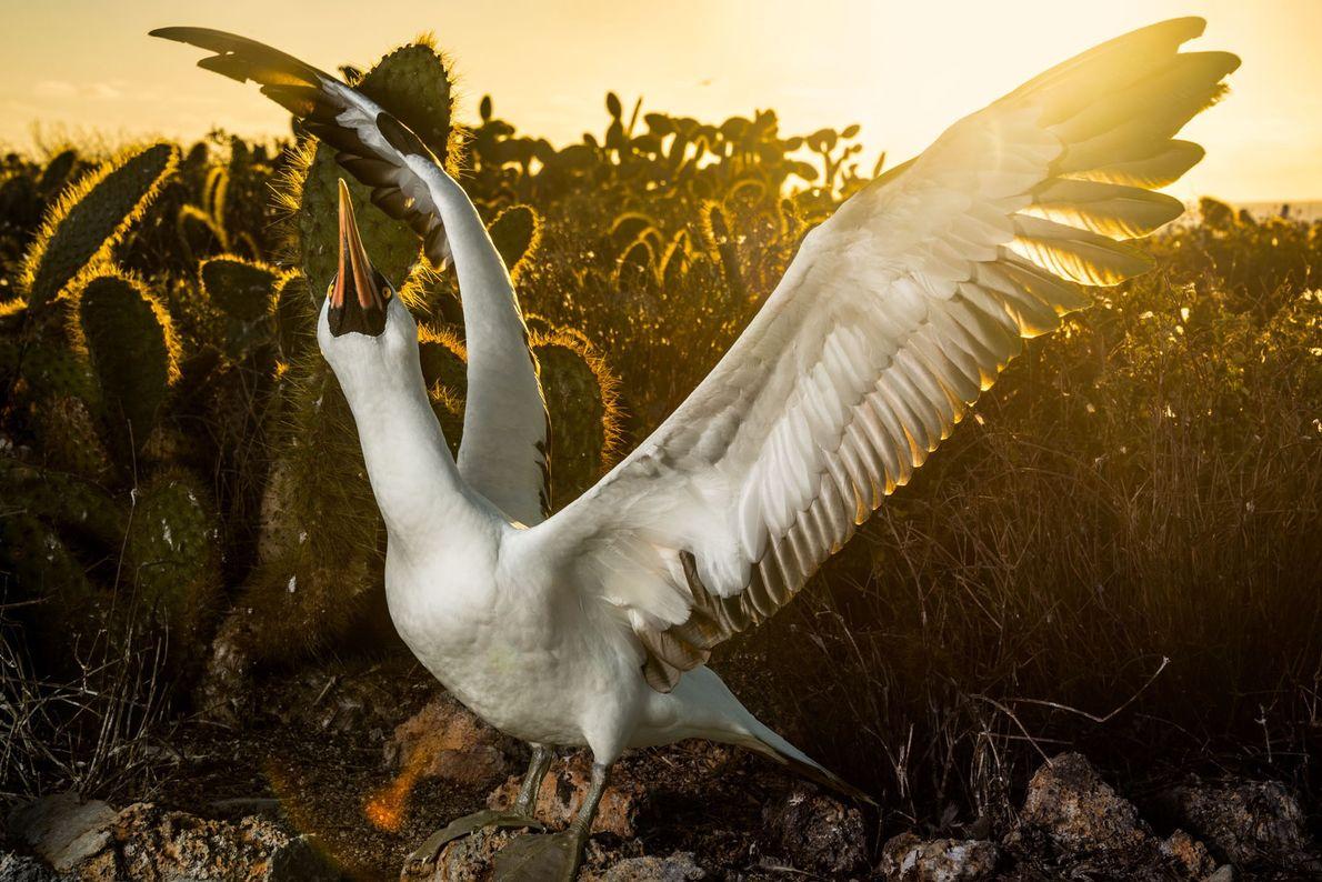 Depois da caça, um atobá-de-nazca retorna a seu ninho próximo a cactos de pera espinhosa na ...
