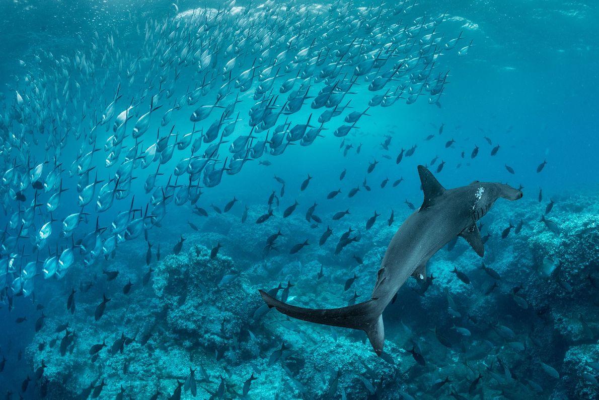 Um tubarão-martelo nada por um cardume de pampos, endêmicos das ilhas do leste tropical do Pacífico. ...