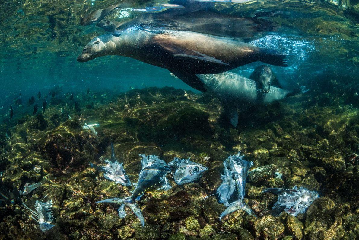 Pequenos grupos dos leões-marinhos endêmicos de Galápagos na Ilha Isabela, na costa leste, caçam atuns-amarelos abundantes ...