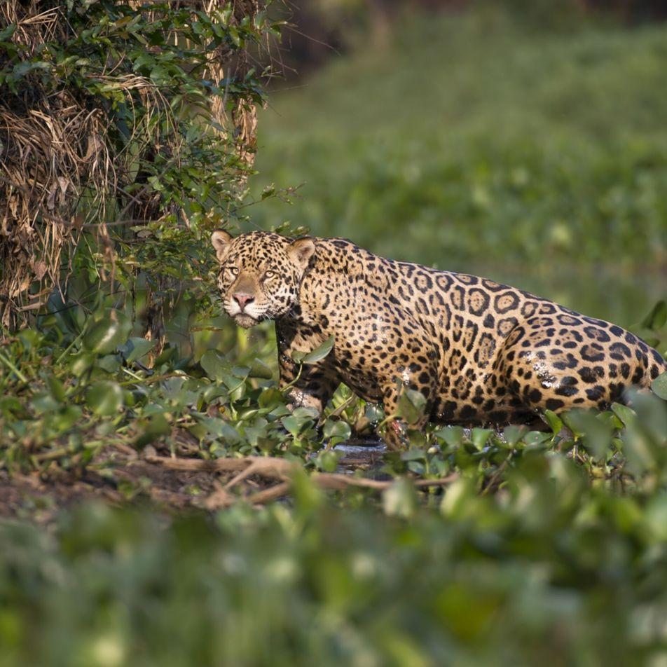 Mortes misteriosas de onças-pintadas no Pantanal sob investigação