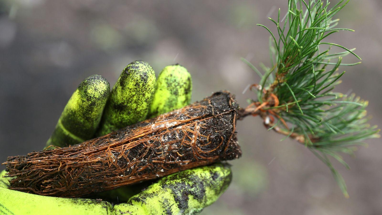 Funcionário do Serviço de Parques dos Estados Unidos segura uma muda de pinheiro-de-casca-branca no Parque Nacional ...