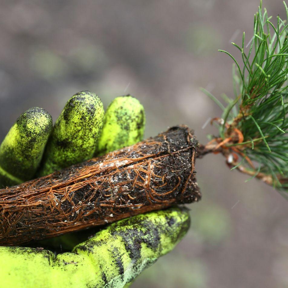 Plantio de árvores combate mudanças climáticas – mas é preciso bilhões de mudas a mais