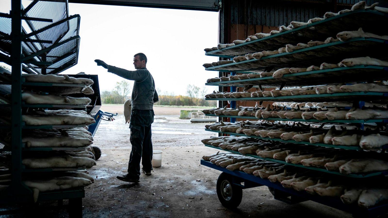 A Dinamarca abateu todos os seus visons de criadouros no ano passado, milhões de animais, depois ...