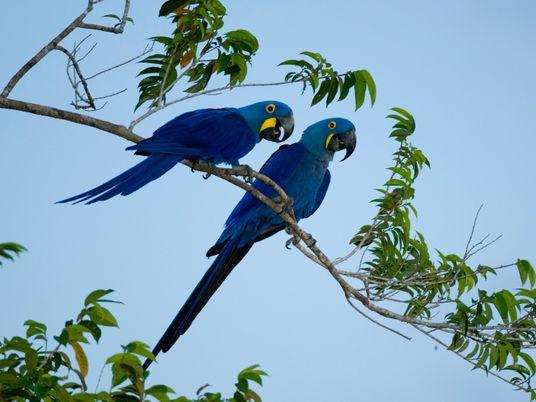 Um mês depois do fogo, araras-azuis dão sinais de vida no Pantanal