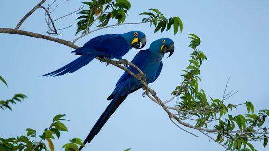 Araras-azuis no Pantanal Matogrossense. Expedição de pesquisadores no maior refúgio da espécie no Pantanal constatou que ...