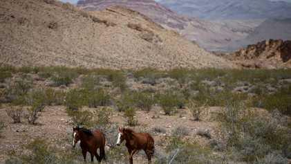 Cavalos selvagens cavam poços no deserto, gerando fontes de água para outras espécies