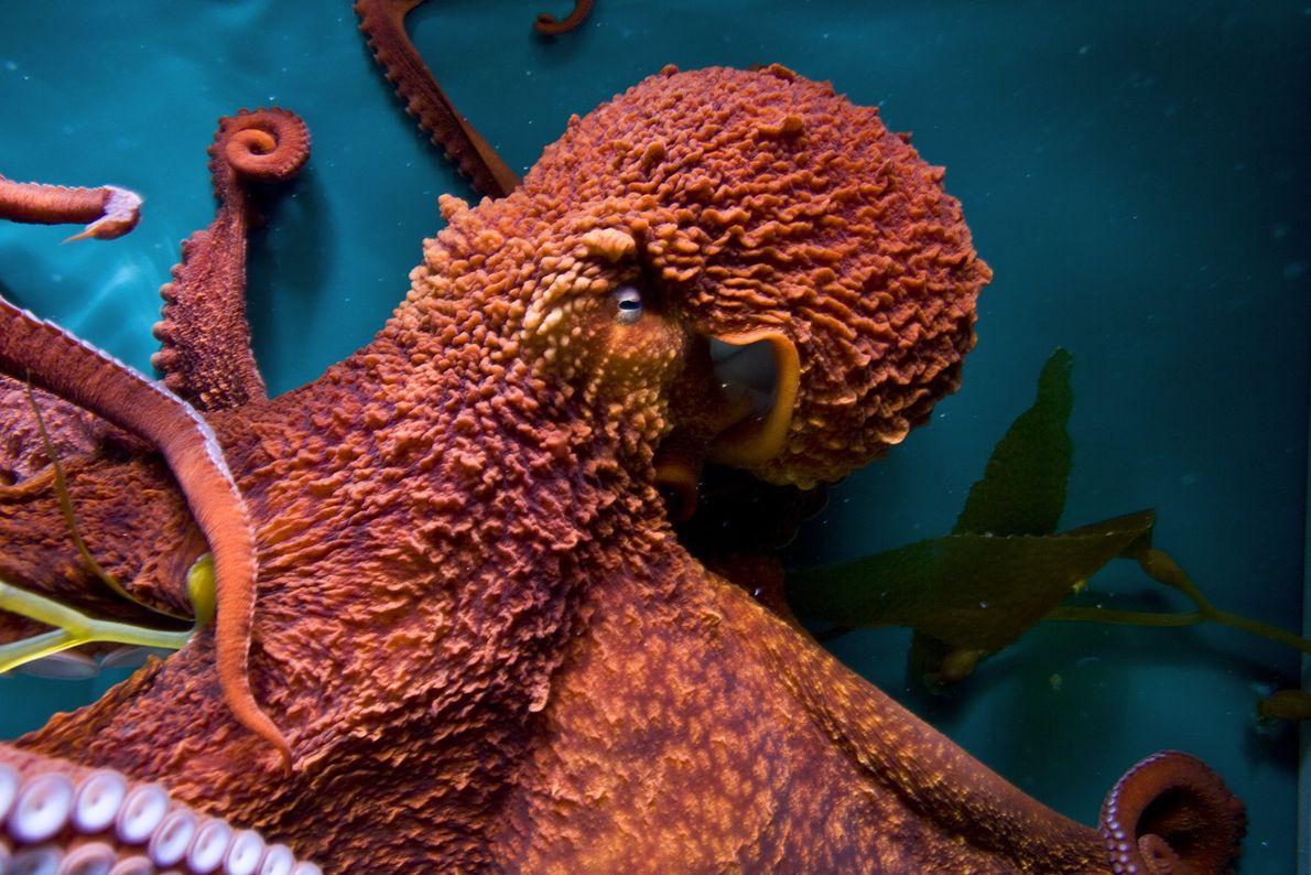 Polvos gigantes do Pacífico aprenderam a abrir potes, imitar outros polvos e resolver labirintos em testes ...