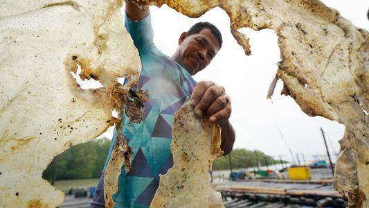 Arraia gigante pode ter sido o maior peixe de água doce do mundo