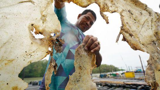 Kamar, um pescador indonésio, posa para a foto segurando a pele ressecada de uma arraia gigante ...
