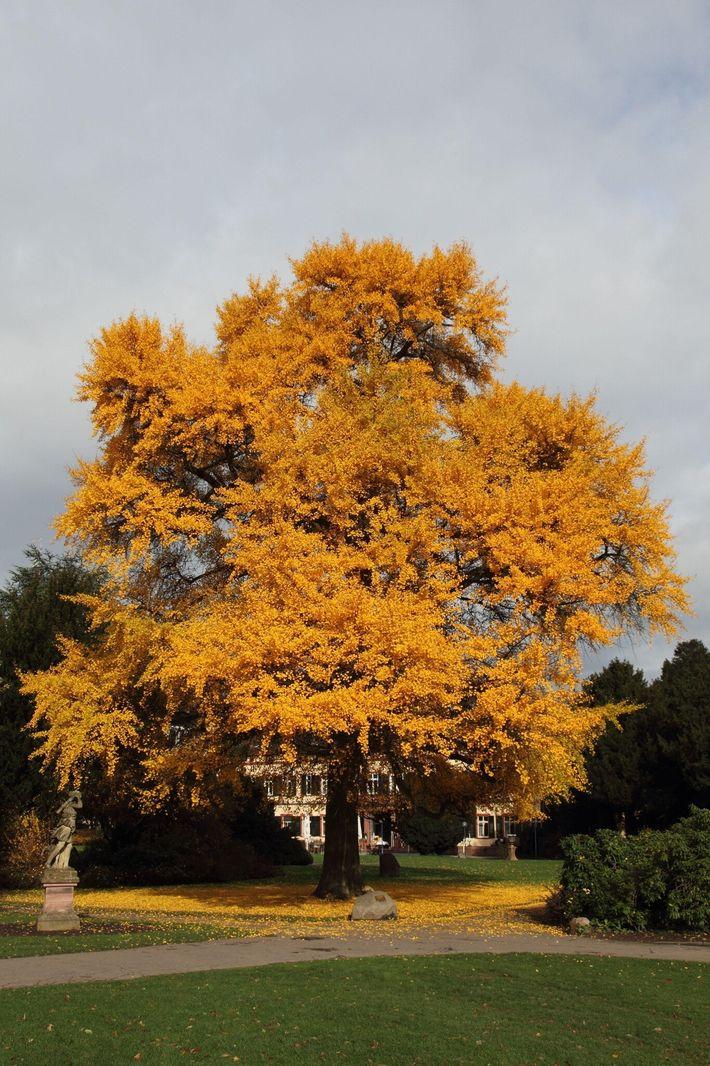 Uma árvore de ginkgo no outono com sua folhagem amarelo-viva. Ao contrário da maioria das árvores, ...