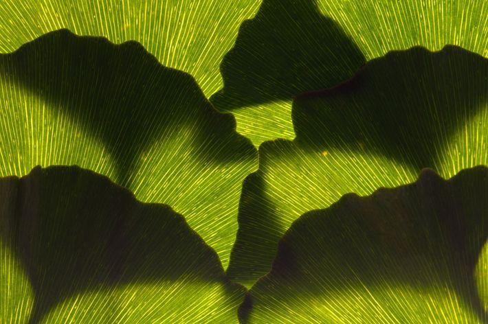 Um arranjo de folhas de ginkgo, que são verdes antes de adquirir a tonalidade amarelo-viva no ...