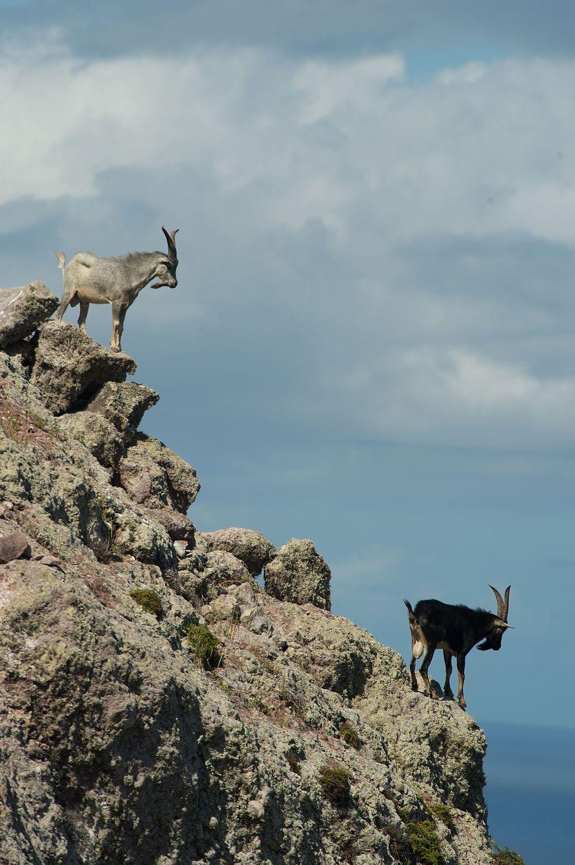 Cabras em Redonda antes de serem levadas à Antígua.