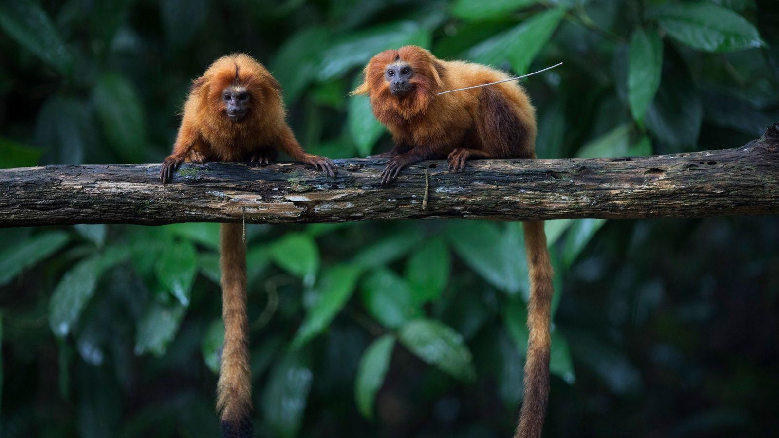 Micos-leões-dourados em um galho na Mata Atlântica do Brasil. Apesar da recuperação das poucas centenas de ...