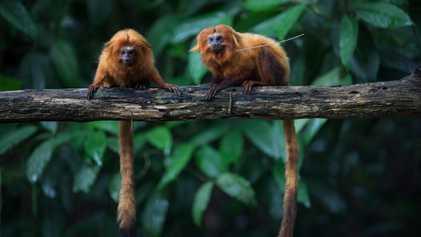 Pandemia ameaça meio século de iniciativas de proteção aos micos-leões-dourados