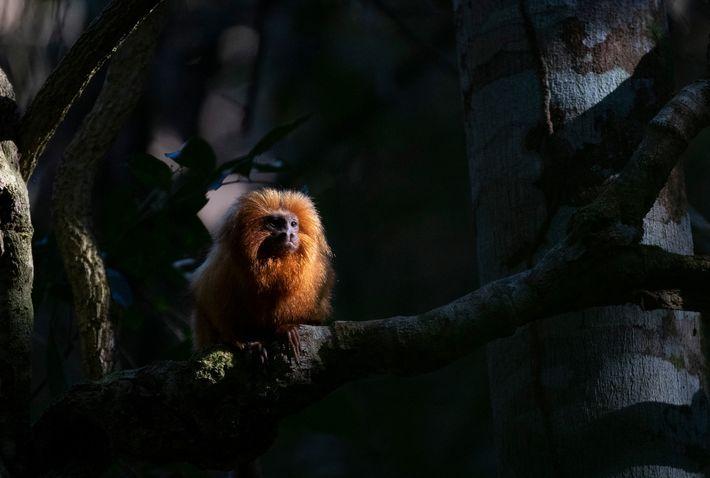 Até 2018, os cientistas não sabiam que a febre amarela poderia adoecer os micos-leões-dourados, mas testes ...
