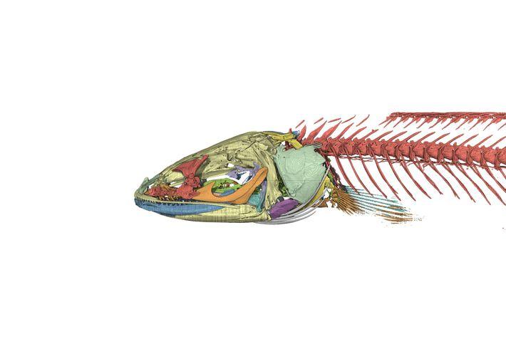 Uma imagem gerada por computador do esqueleto do gollum-cabeça-de-cobra. Pesquisas sobre a anatomia do peixe ajudaram ...