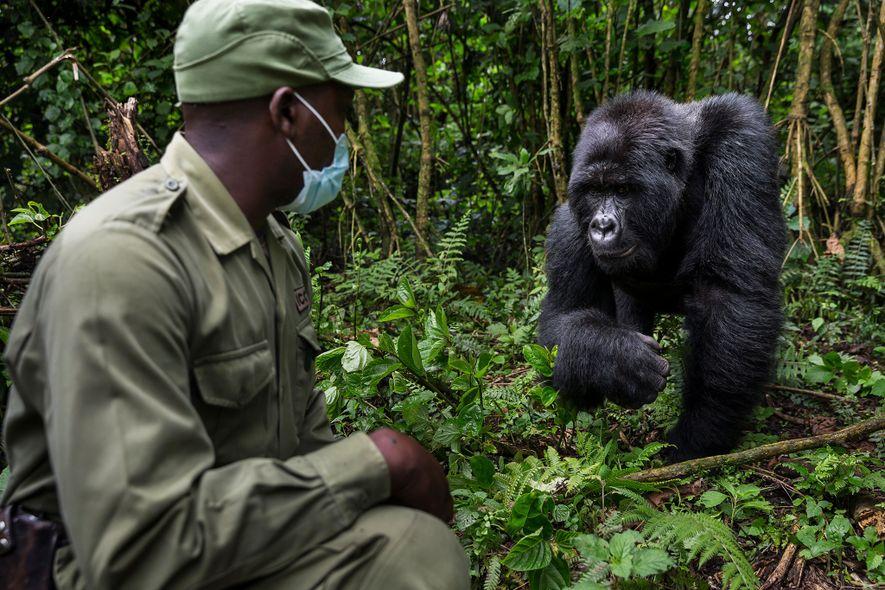 Innocent Mburanumwe, diretor do Parque Nacional de Virunga, usa uma máscara para se aproximar dos gorilas ...