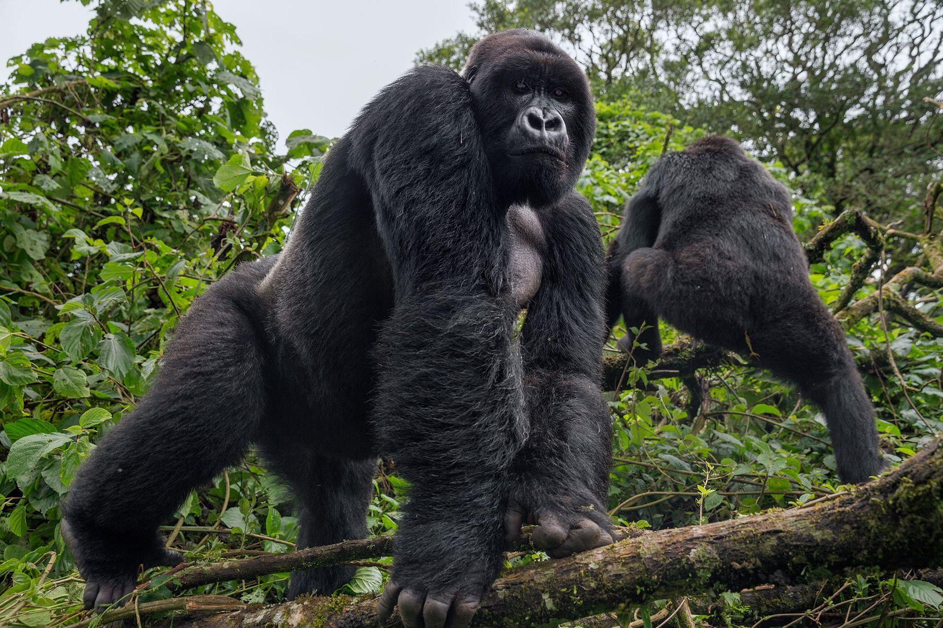 Um gorila de dorso prateado no Parque Nacional de Virunga observa um guarda florestal. É mais ...