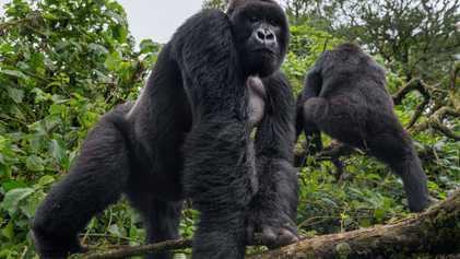 O que é preciso para proteger os gorilas do ebola