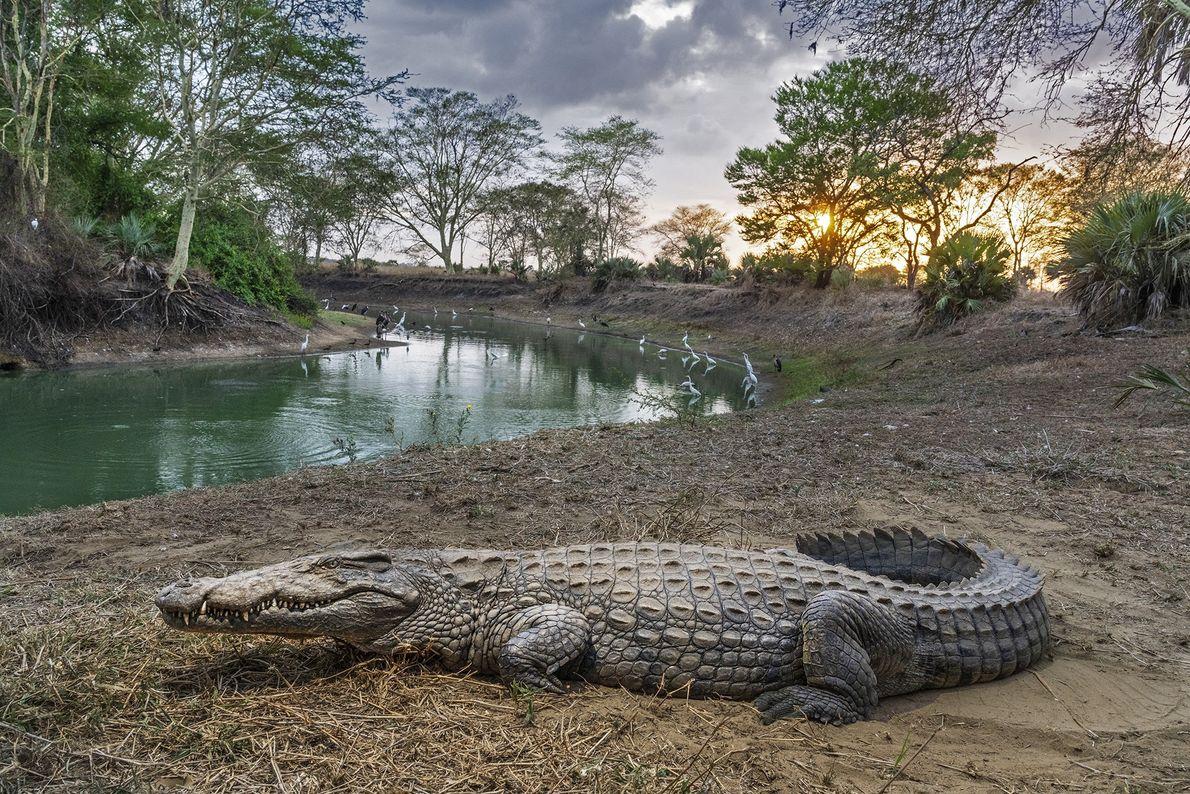 Um crocodilo descansa no Parque Nacional de Gorongosa, em Moçambique, onde o futuro dos animais silvestres ...