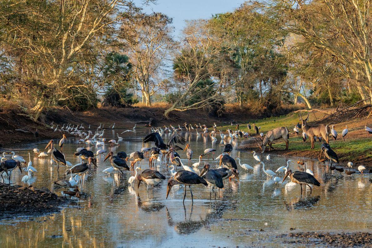 No final da estação seca em Gorongosa, a água que restou do canal do Rio Mussicadzi ...