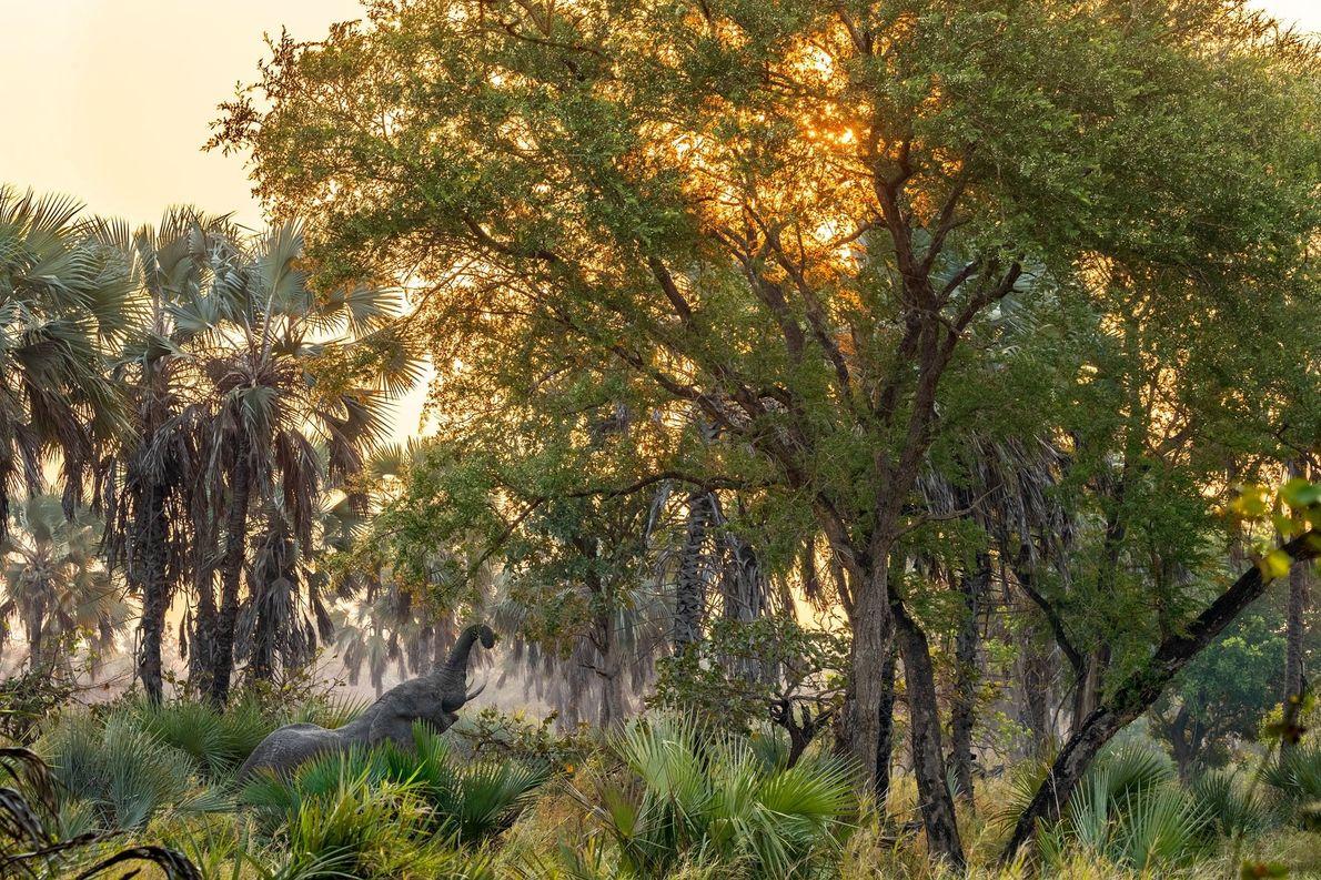Elefante macho fazendo um lanchinho à noite, no Parque Nacional de Gorongosa, Moçambique. A maioria dos ...