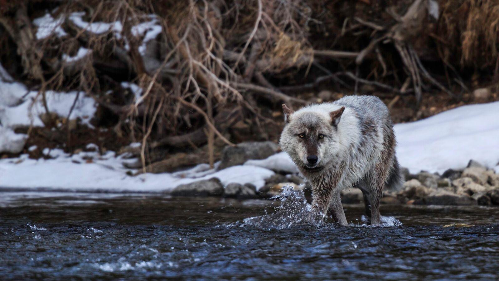 Em novembro, os eleitores do Colorado, nos EUA, aprovaram uma medida para reintroduzir os lobos-cinzentos, caçados ...