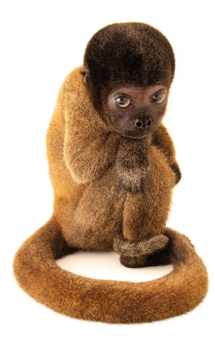 Macaco-barrigudo, Lagothrix cana (em perigo de extinção) – Esta jovem macaca-barriguda do Brasil foi criada como ...
