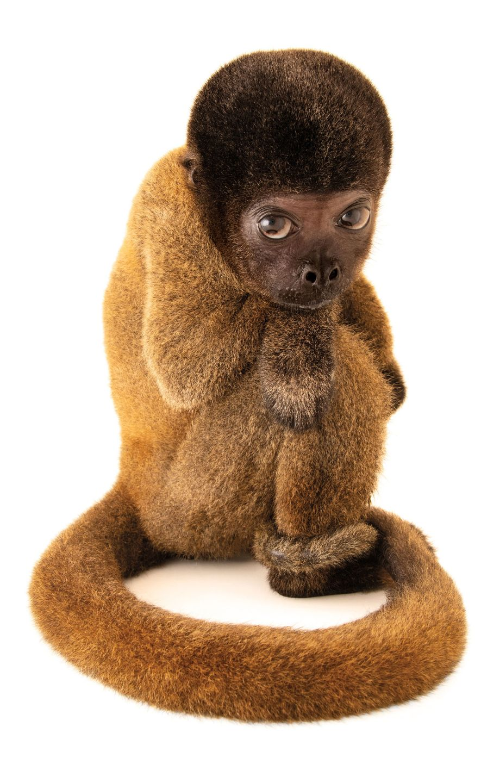 Macaco-barrigudo, Lagothrix cana (em perigo de extinção) – Esta jovem macaca-barriguda do Brasil foi criada como animal de estimação e sofria de desnutrição. Quando capturada, é provável que sua mãe tenha sido morta. A polícia ambiental a resgatou e ela foi tratada, mas precisará viver em cativeiro pelo resto da vida.