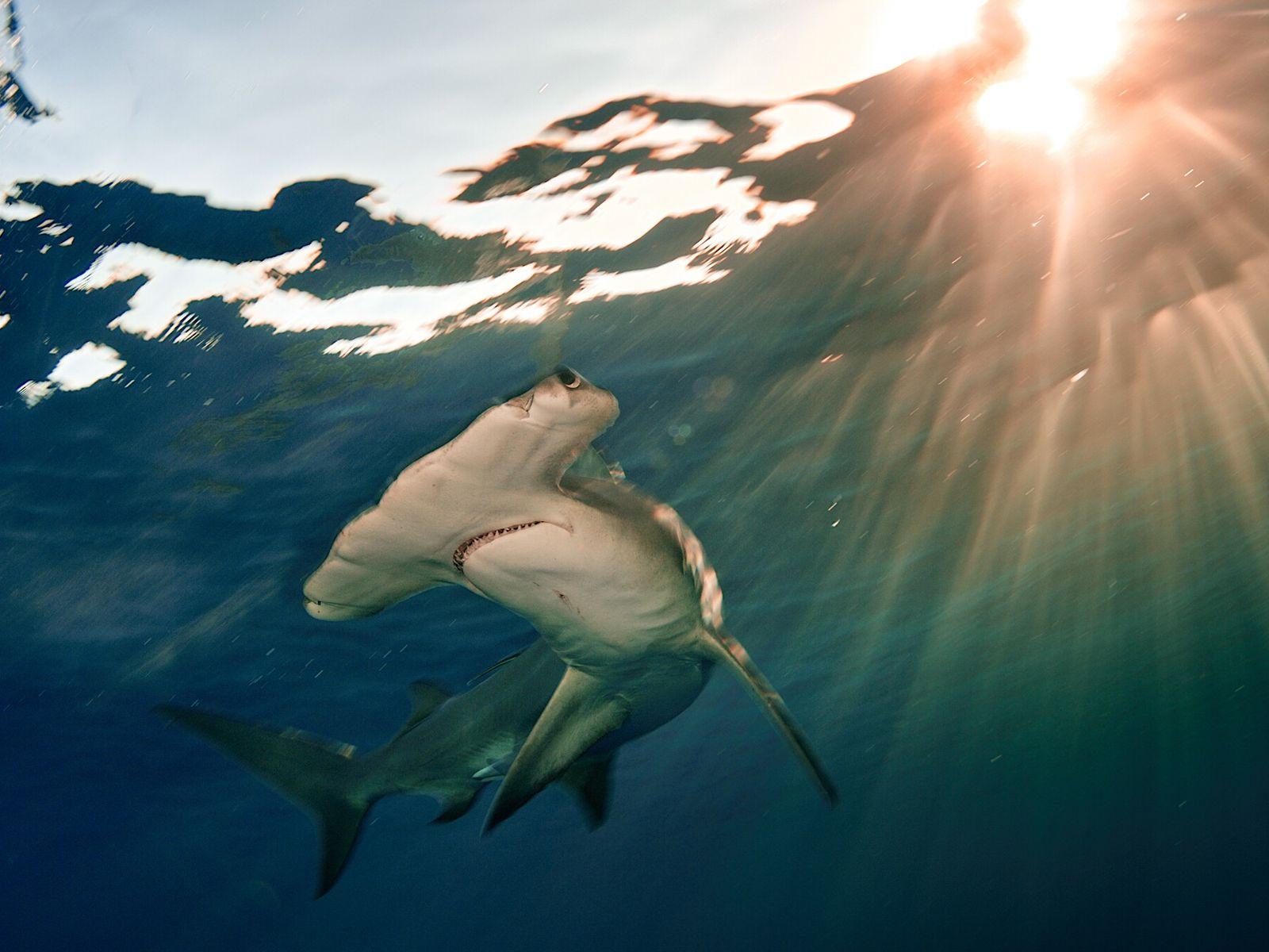 O tubarão-martelo-panã (na imagem, um animal nadando nas Bahamas) está criticamente ameaçado de extinção.