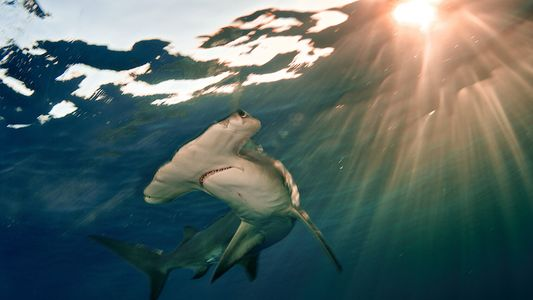 Populações de tubarões e arraias sofreram declínio de 70% nos oceanos em meio século