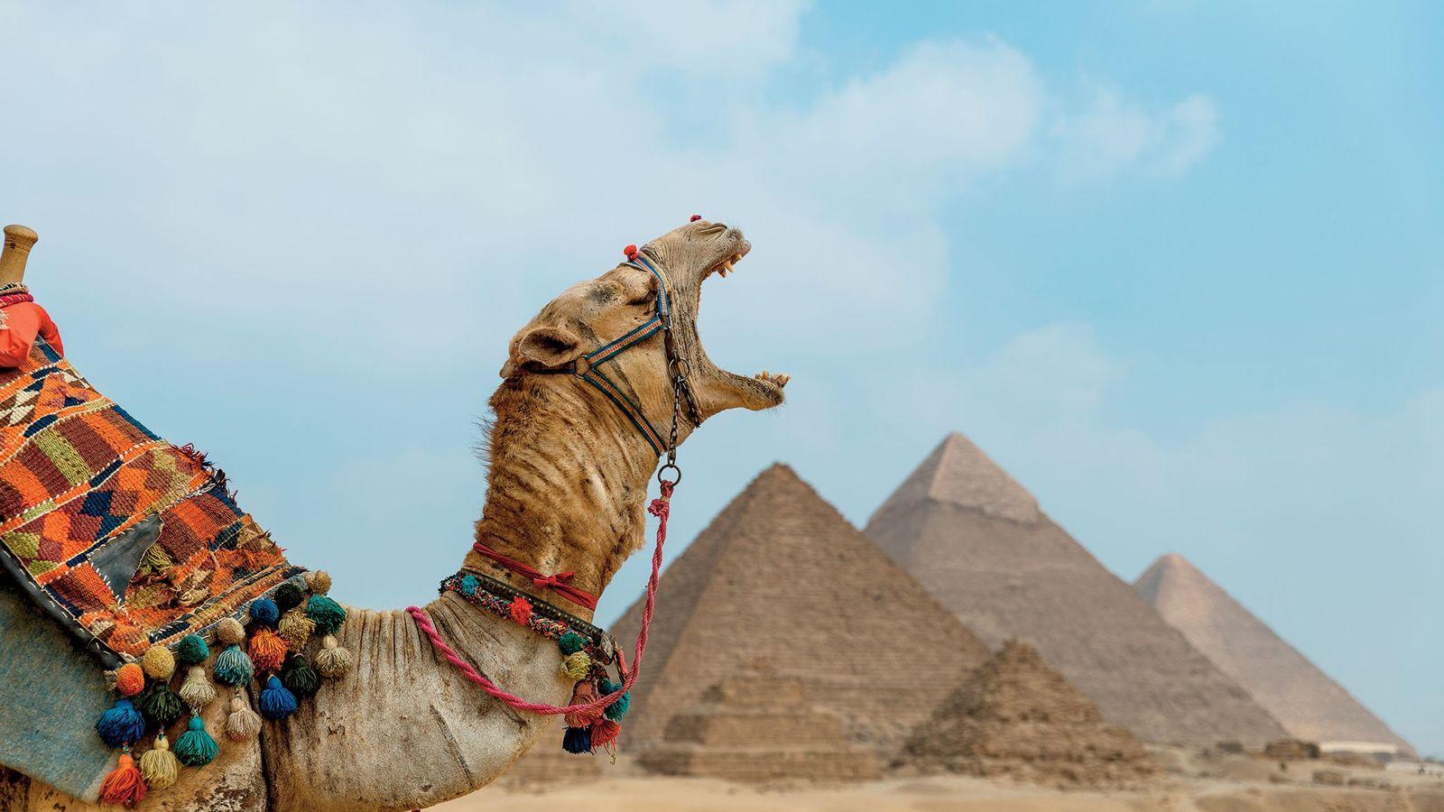 Um camelo bocejando em frente às monumentais Pirâmides de Gizé.