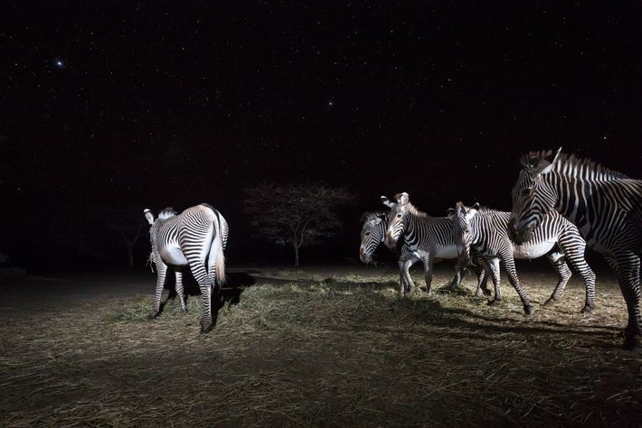Zebras-de-grevy comem o feno deixado para elas pelo Grevy's Zebra Trust. A seca reduziu a disponibilidade ...