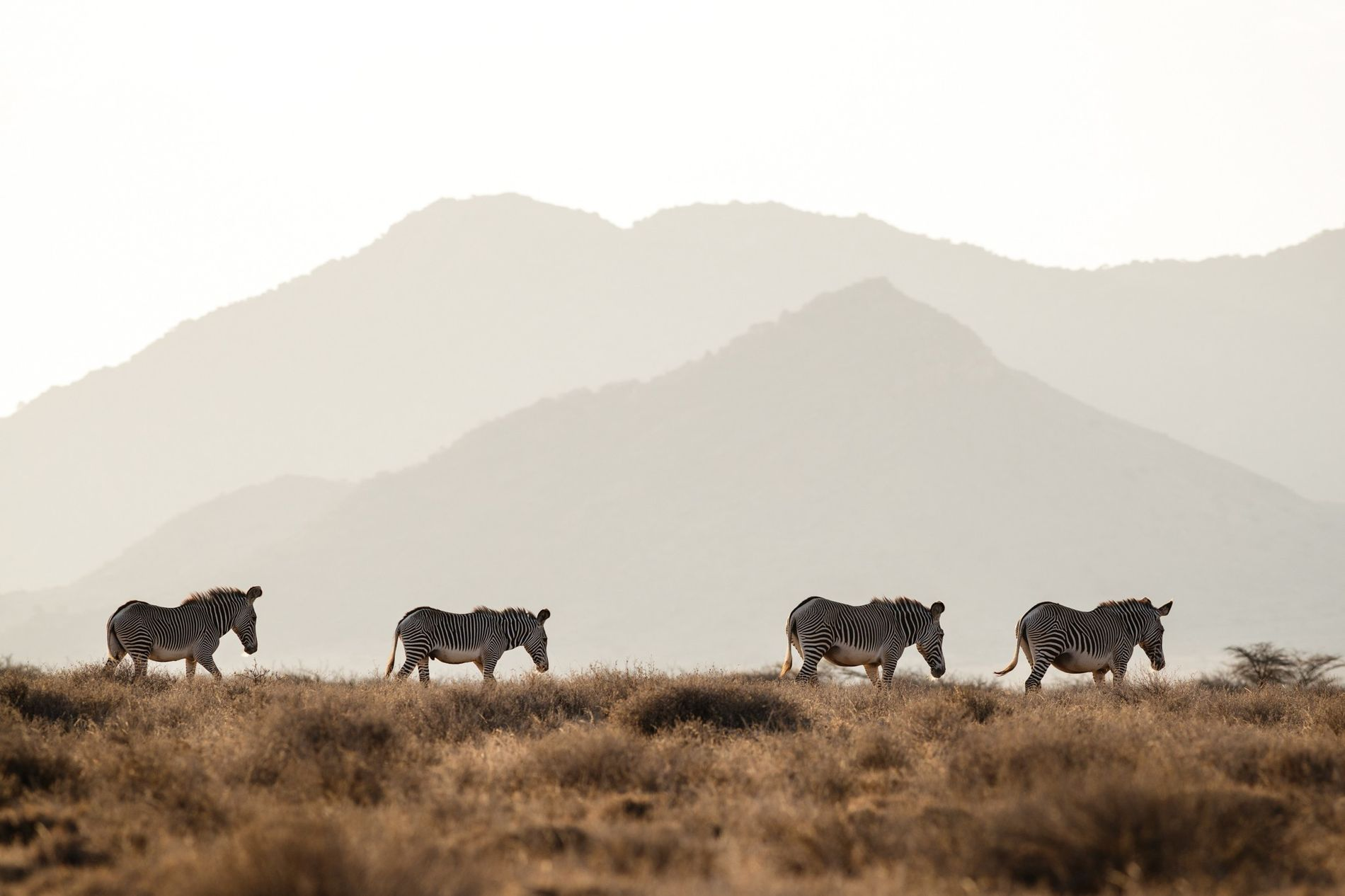 Zebras-de-grevy em risco de extinção se movimentam pelas planícies no norte do Quênia. Existem apenas 2,4 ...