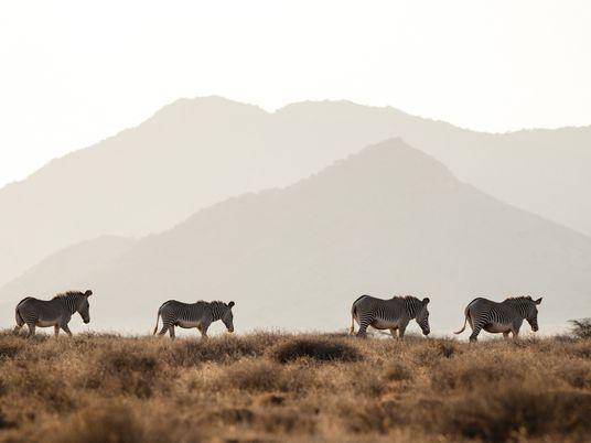 Essas zebras raras dependem dos humanos – ao menos por agora