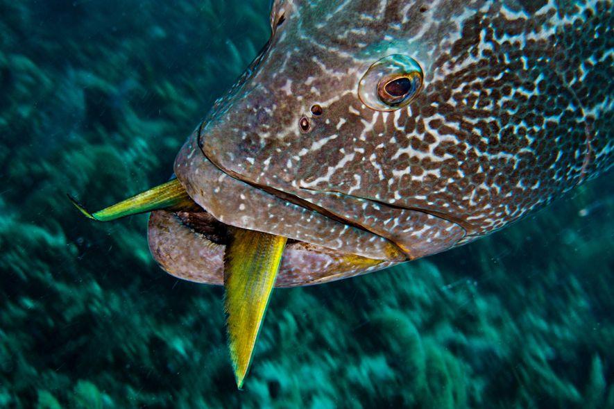 Outros predadores são o tubarão-bico-fino (ou cação-coralino) e peixes de grande porte, como o badejo-quadrado.