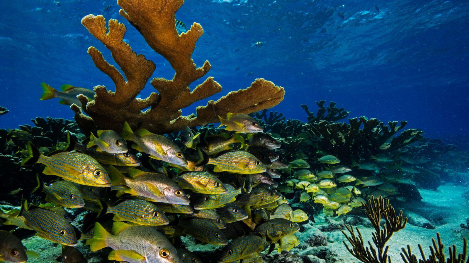 Cardumes de cocorocas-bocas-de-fogo e carapitingas preenchem o espaço entre os ramos largos do coral-chifre-de-alce. De crescimento ...