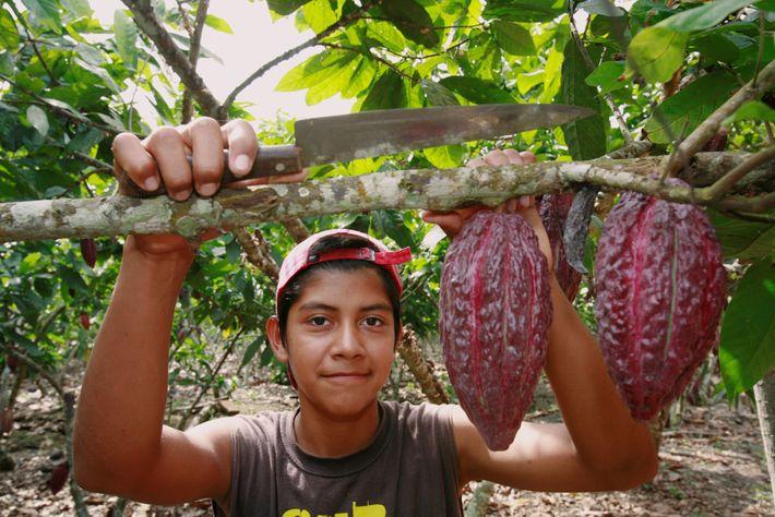 Frutos de cacau prontos para serem colhidos em uma fazenda de cacau no Equador.