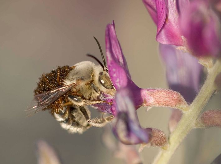 As larvas de escaravelho pegam carona até a toca da fêmea e comem a nutrição deixada ...
