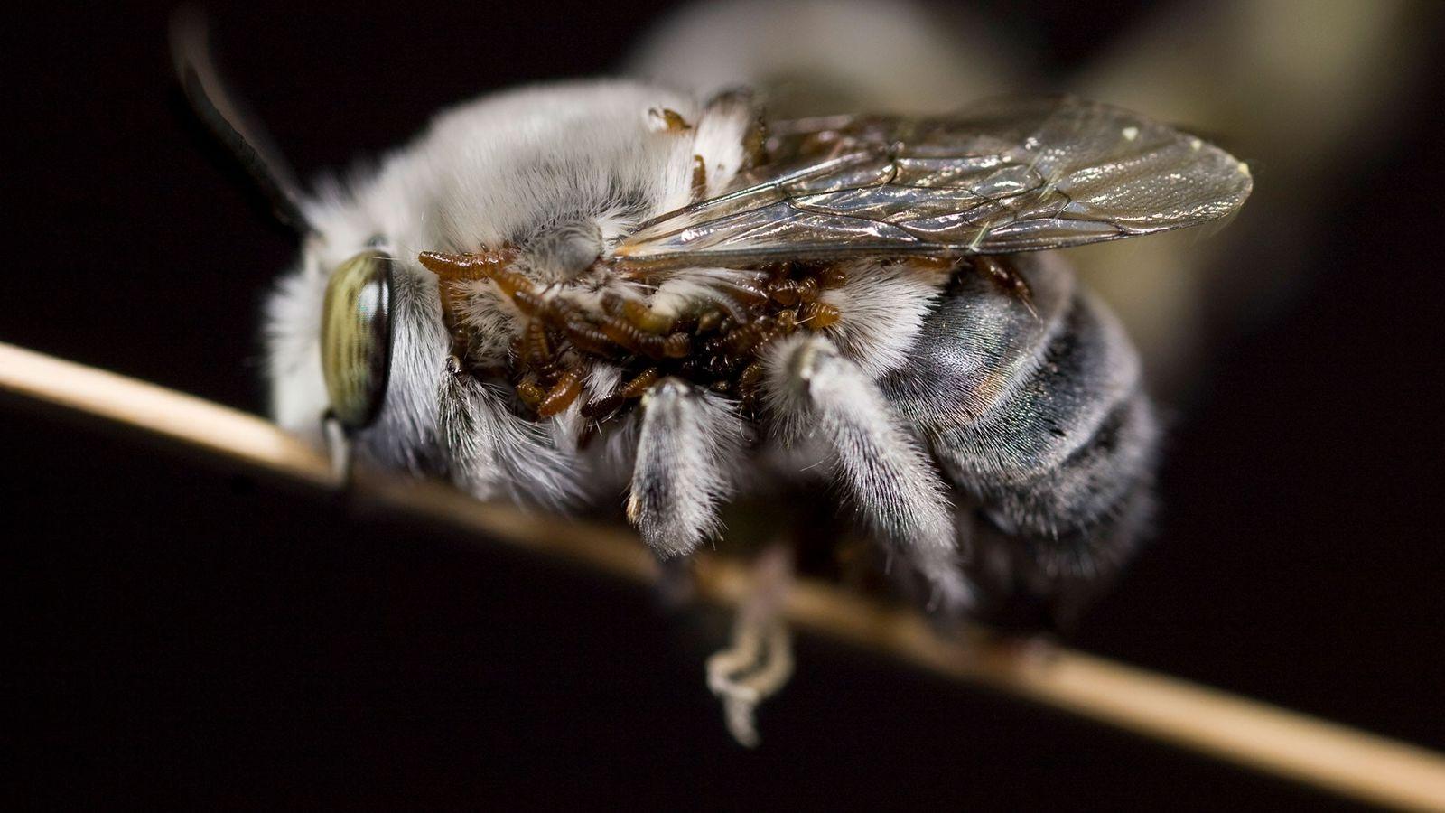 Uma abelha-burguesa-de-Dawson coberta de larvas parasitas de escaravelho, que produzem feromônios que imitam os de uma ...