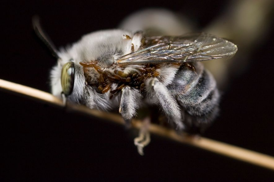 Sexo, mentiras e larvas: como os escaravelhos parasitas enganam as abelhas