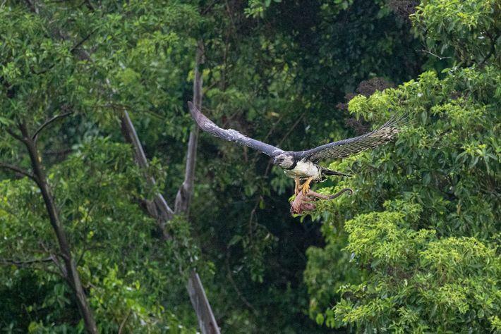 Os gaviões-reais têm uma envergadura relativamente curta, o que lhes permite voar graciosamente pela densa floresta. ...