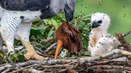 O esforço heroico para salvar a maior águia do mundo na Amazônia