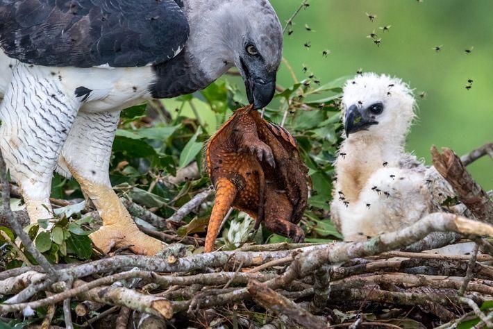 Um gavião-real levou para o ninho este tatu que havia acabado de caçar. O ninho é ...