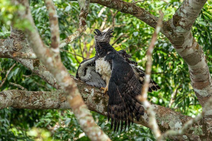 Os gaviões-reais são considerados uma das aves mais espetaculares do planeta, no topo da lista de ...