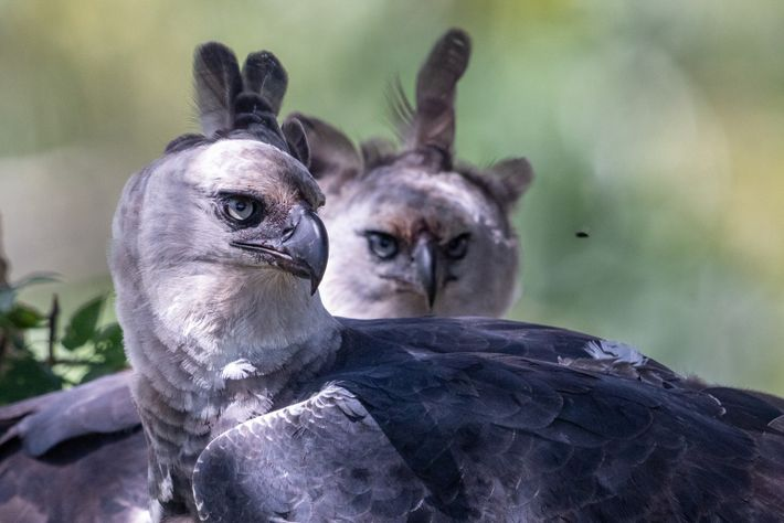 Os gaviões-reais são monogâmicos até o fim da vida e usam um único ninho por duas ...
